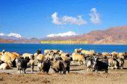 Wild animals near Yamdrok Lake