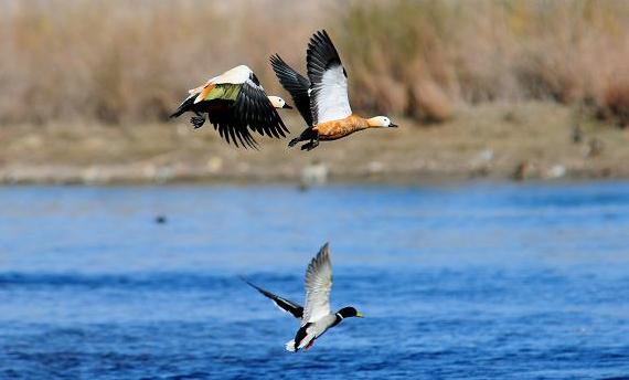 Tibet Birds Watching-Black-necked cranes